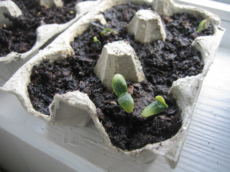 Suyo Long Cucumber seedlings